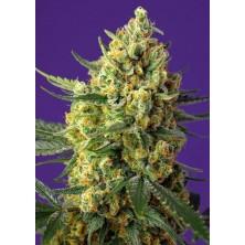 Crystal Candy XL Auto de Seeds Seeds