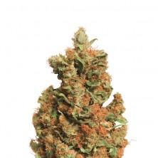 Orange Bud de Nirvana