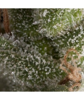 comprar Auto Fresh Candy de Pyramid Seeds