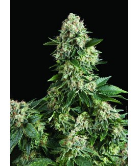comprar Auto New York City de Pyramid Seeds