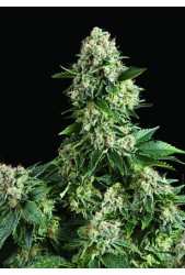 Auto New York City de Pyramid Seeds
