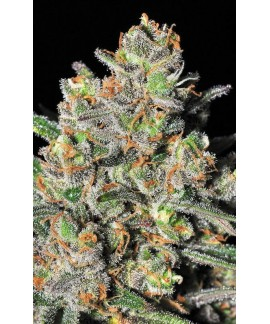 comprar Green Love Potion de Samsara Seeds