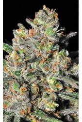 Green Love Potion de Samsara Seeds
