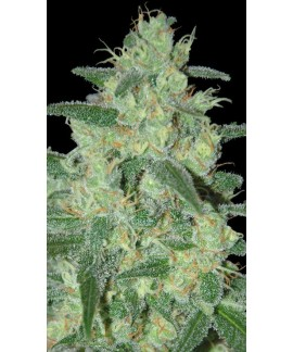 comprar Holy Grail 69 de Samsara Seeds