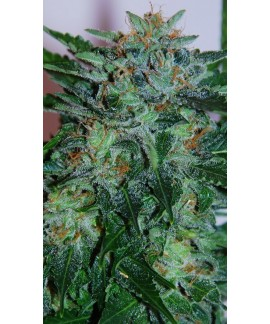 comprar Flash Babylon de Samsara Seeds