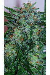 Flash Babylon de Samsara Seeds