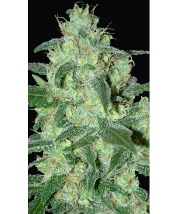 Comprar Thunder Bloody Mary de Samsara Seeds