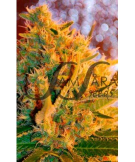 comprar Shot Adrenaline de Samsara Seeds
