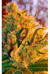 Shot Adrenaline de Samsara Seeds