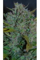 Ultraviolet de Samsara Seeds