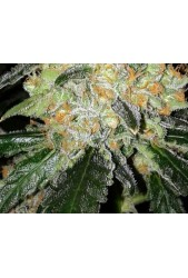 Cheese Special de The Doctor Seeds
