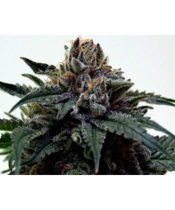 Comprar Super Kush de The Doctor Seeds