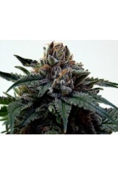 Super Kush de The Doctor Seeds