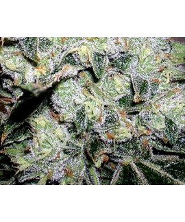 comprar Yumboldt Special de The Doctor Seeds