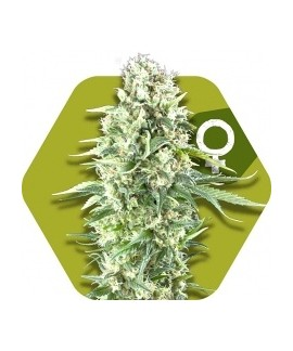 comprar Power Plant XL de Zambeza Seeds