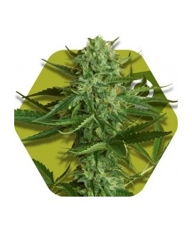 comprar White Widow Haze de Zambeza Seeds