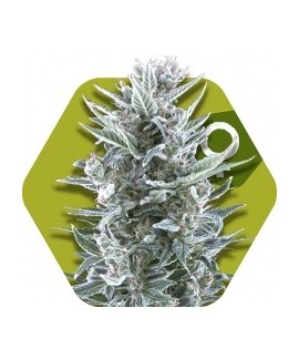 comprar Blueberry de Zambeza Seeds