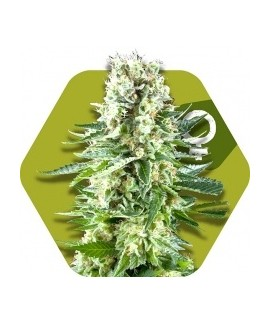 comprar White Widow XL de Zambeza Seeds
