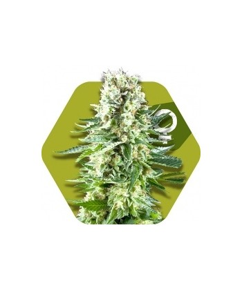 Comprar White Widow XL de Zambeza Seeds