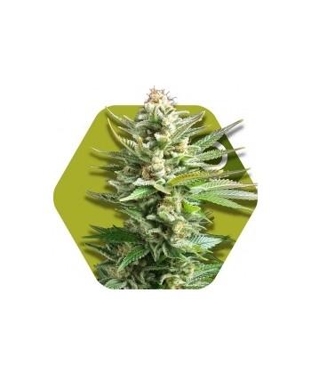 Comprar Amnesia Haze XL de Zambeza Seeds
