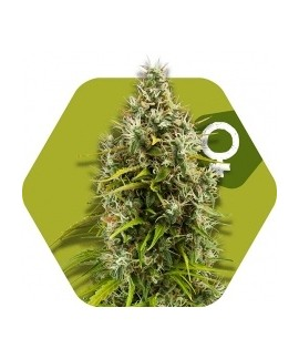 comprar Pineapple Express de Zambeza Seeds