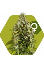 Pineapple Express de Zambeza Seeds
