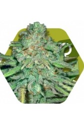 Lemon Kush de Zambeza Seeds