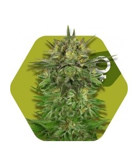 comprar Blue Brilliant de Zambeza Seeds