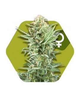 comprar Power Kush de Zambeza Seeds