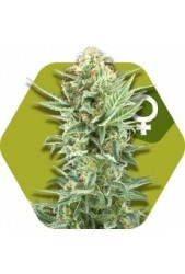 Power Kush de Zambeza Seeds