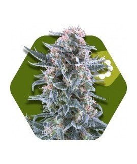 comprar Blueberry-Auto