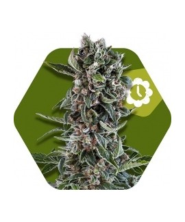 comprar Blueberry Cheese-Auto