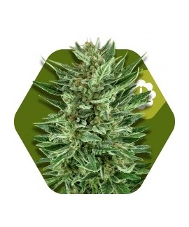 comprar White Cheese-Auto