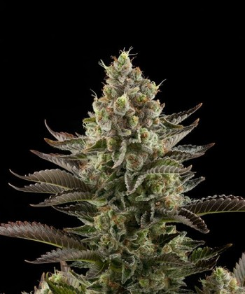 Comprar White Widow a granel