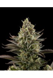 White Widow a granel