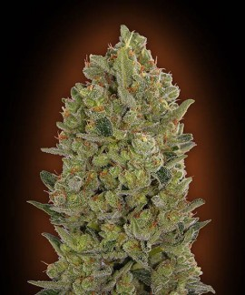 comprar 00 Cheese de 00 Seeds Bank