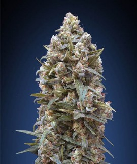 comprar 00 Kush de 00 Seeds Bank