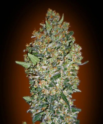 Comprar Cheese Berry de 00 Seeds Bank