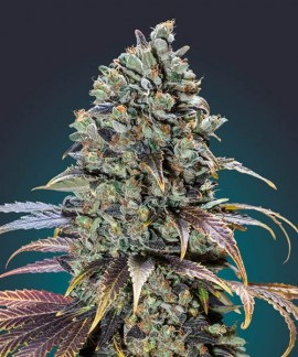comprar Chocolate Cream de 00 Seeds Bank