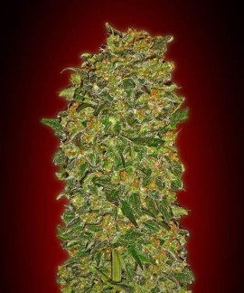 Chocolate Kush de 00 Seeds