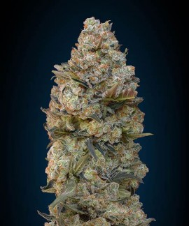 comprar Chocolate Skunk de 00 Seeds