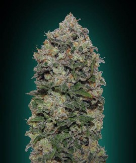 comprar Northern lights de 00 Seeds Bank