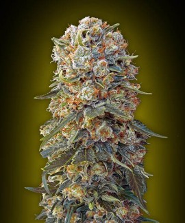comprar Sweet Critical de 00 Seeds Bank