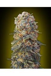 Sweet Critical de 00 Seeds Bank