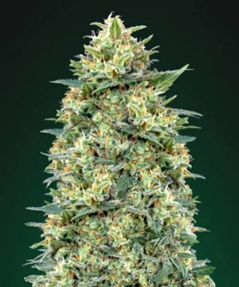 Comprar White Widow de 00 Seeds Bank