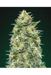 White Widow de 00 Seeds Bank