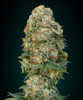 comprar Afghan Skunk de Advanced Seeds