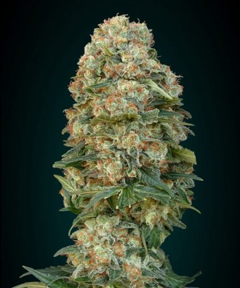 Afghan Skunk de Advanced Seeds
