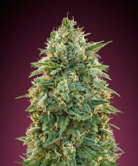 comprar Amnesia de Advanced Seeds