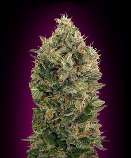 comprar Black Diesel de Advanced Seeds